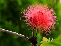 Mil estambres (FernandoRueda) Tags: flores flora flor flowers red carbonero calliandra bees abejas nectar 7dwf macro