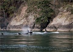 Orca whales cruising the shoreline (marneejill) Tags: orca whale killer shoreline vancouverisland scenic swimming pod