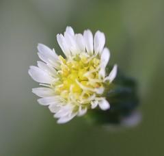 Horseweed Flower (corey.raimond) Tags: horseweed flower whiteflower plant washington native weed asteraceae conyzacanadensis kenmore kingcountywashington conyza