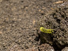 Entre las rocas (sierra.oe87) Tags: worm yellow insect animal wildlife black wild gusano amarillo venenoso