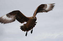 Lo Skua (Wrinzo) Tags: uk scotland lerwick seabird skua scozia isole greatskua bonxie shetlandislands stercorarius stercorariidae uccellomarino