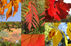 When Autumn Leaves... (iofdi) Tags: autumn leaves sassafras oak sumac fall colors orange red yellow green collage october weekly1042012