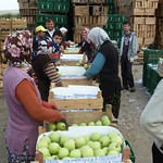 "Sorting apples at a cold storage facility near Gelendost <a style=""margin-left:10px; font-size:0.8em;"" href=""http://www.flickr.com/photos/59134591@N00/8079968070/"" target=""_blank"">@flickr</a>"