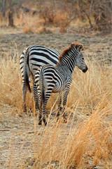 Zebra (April.Moulton) Tags: africa animal animals canon nationalpark wildlife safari zebra canon350d nationalgeographic zebras wildanimals africansafari southluangwa southluangwanationalpark canonphotography southluangwavalley