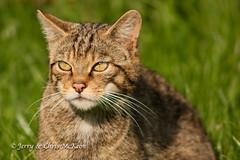 Wildcat (jaycees2012) Tags: greatbritain england cats unitedkingdom surrey wildcat mammals animalia mammalia southeastengland felidae felissilvestris scottishwildcat lingfield britishwildlifecentre