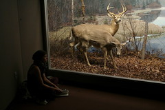 Museum Scene (Avard Woolaver) Tags: autumn light canada colour topf25 photo flickr novascotia wildlife taxidermy deer halifax canondslr museumofnaturalhistory digitalimage contemporarylandscape sociallandscape artandcommerce artcommerce topf25faves canoneos60d photovogue avardwoolaver avardwoolaverphoto startcafe2012
