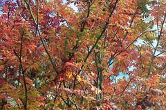Autumn leaves (billnbenj) Tags: autumn red orange tree green yellow berries autumnleaves cumbria rowan autumnal barrow mountainash redberries rowanberries