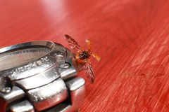 Tempus fugit (osamot) Tags: insect wings time watch insects casio ladybird ladybug takeoff tempusfugit casiogshock