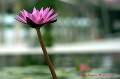 one is enough (tomzcafe) Tags: singapore lotus marinabay tokina281053545