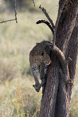 Leopard climbing down (MAC's Wild Pixels) Tags: female tanzania leopard serengetinationalpark canoneos50d goldwildlife naturesgreenpeace allnaturesparadise allofnatureswildlifelevel1 allofnatureswildlifelevel2 allofnatureswildlifelevel3 macswildpixels