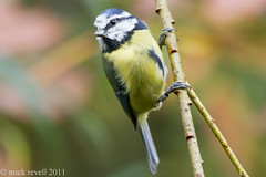 Blue tit. (mick revell) Tags: blue tit bluetits hennysanimals freedomtosoarlevel1birdphotosonly freedomtosoarlevel2birdphotosonly
