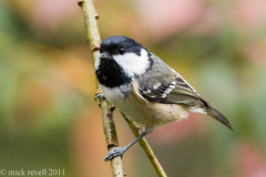 Cole tit (mick revell) Tags: tit cole specanimal coletit hennysanimals freedomtosoarlevel1birdphotosonly freedomtosoarlevel2birdphotosonly freedomtosoarlevel3birdphotosonly freedomtosoarlevel3birdsonly freedomtosoarlevel3birsdonly