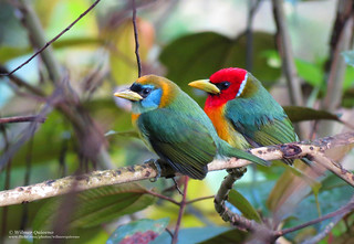 Eubucco bourcierii (Red-headed Barbet)