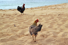 Poipu Rooster (heartinhawaii) Tags: chickens kauaichickens rooster poipu poipubeachpark kauai flickrlicensing