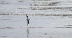 Sanderling I Think? (Rovers number 9) Tags: uk england water birds minolta wildlife sony lancashire blackpool 2012 a65 minoltaaf100200f45 minoltaaf28135mmf445 sonya65
