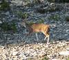 Texas Whitetail Hunt & Exotics - Kerrville 18