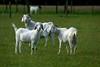 The harem, Badger Creek (jozioau) Tags: goats sal70400g