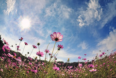 Under the autumn sky (y2-hiro) Tags: pink autumn sky sunlight field cosmos