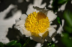 "White Peonies • <a style=""font-size:0.8em;"" href=""https://www.flickr.com/photos/21540187@N07/8145589328/"" target=""_blank"">View on Flickr</a>"