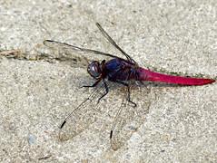 Orthetrum pruinosum neglectum (Rambur, 1842) * (Linda DV) Tags: travel canon insect geotagged asia southeastasia dragonfly vietnam sapa 2012 odonata anisoptera orthetrum lindadevolder powershotsx40