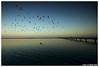 Swan Bay Birds (Karl von Moller) Tags: australia victoria greatoceanroad kvmbest kvmphotography