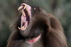 Screaming monkey 2 (Esther Kluth) Tags: stuttgart 2012 wilhelma flickrtreffen2012nov18