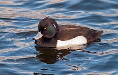 Tufted Duck (m) (Margaret S.S) Tags: scotland duck nikon glasgow waterbird tufted hogganfield margaretssweeny