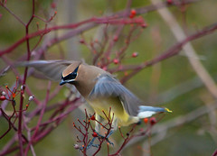 Cedar Waxwing   flight 3 copy (Arvo Poolar) Tags: blue winter tree bird nature wings berry wildlife scarborough cedarwaxwing ourdoors scarboroughbluffs nikond7000