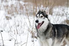 Wolfie boy (Penelope Malby Photography) Tags: dog snow canine surrey dogphotography northerninuit wolfalike penelopemalbyphotography