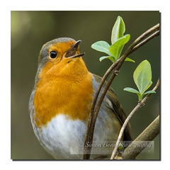 Singing robin (Simon Bone Photography) Tags: uk bird nature robin singing bigma wildlife sing 7d sigma50500mm tehidycountrypark canoneos7d wwwsimonbonephotographycouk