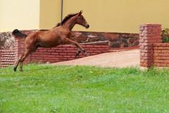 IMG_28168 (Max Hendel) Tags: horse cavalo potro haras potrinho bymaxhendel pormaxhendel speedhorse maxhendelphotography harasboavista boavistasmallfarm ibitingasp sítioboavistaibitingasp harasemibitinga harasboavistadeibitingasp