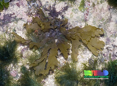 Broad strap brown seaweed (Stypopodium zonale) (wildsingapore) Tag