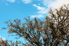 (Sethkajal) Tags: verde arbol pajaro cotorra cacatua exotico bandada