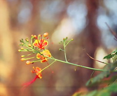 Gulmohar 2   45340006ab (kapilmerc) Tags: orange sunlight green gulmohar