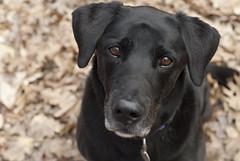The Look (johnutah) Tags: dog lab blackdog bo labradorretreiver