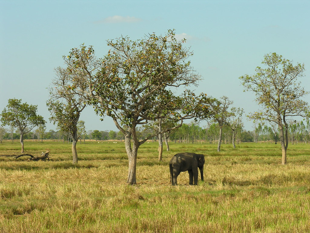 One elephant, Surin, Northeast Thailand