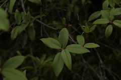Rhododendron triflorum J. D. Hooker (3) (siddarth.machado) Tags: east rhododendron lachen northsikkim himalayanflora