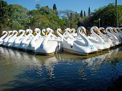 Lago dos Cisnes (Gijlmar) Tags: brasil brazil brasilien brsil brasile brazili portoalegre  riograndedosul amricadosul amricadelsur southamerica amriquedusud redeno parquefarroupilha swans cisnes