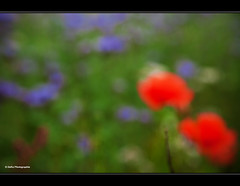 Large Poppies (geka_photo) Tags: rot grn blau unscharf mohn unschrfe gekaphoto
