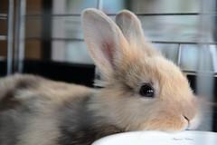 - Child of the rabbit. (shig.) Tags: rabbit child usako    canon eos 70d animal portrait