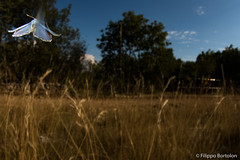(bortozz) Tags: polyommatus icarus eryngium carso repen macro farfalle