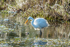 Eastern Great Egret at Tuggerah Lake (Merrillie) Tags: natural nikon nature australia d5500 nswcentralcoast outdoor newsouthwales easterngreategret bird nsw tuggerahlake animals wildlife centralcoastnsw egret lake photography landscape outdoors waterscape water centralcoast longjetty white