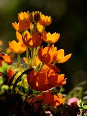 Blten im Licht (berndtolksdorf1) Tags: blten blume flower licht lichtstimmung pflanze gelb orange light me