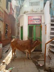 U.S. Pharma (S_Artur_M) Tags: india indien lumix panasonic reise tz10 travel varanasi benares cow street uttarpradesh