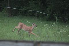 IMG_0149 (thinktank8326) Tags: deer fawn babyanimal babydeer whitetaileddeer