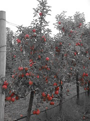 DSCN0376 (mavnjess) Tags: 1 may 2016 cripps pink lady apples orchard red black white bw sacha cin lucinda giblett cooking hibiscus compost composting compostbays chestnuts chestnut tree train carriages rainbow trolley bus trolleybus carriage