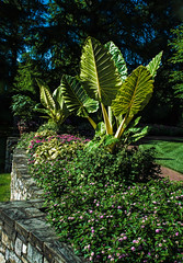 Elephant Ear Plant (mp13 nhnc) Tags: elephantearplant leaves green stonewall plants blossoms blooms trees sky longwoodgardens
