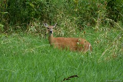 Watching Passerbys at Deer Grove East (Imagination04) Tags: deer grove east forest preserve il illinois whitetail