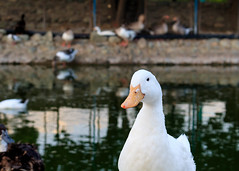 geese (tabatabaie_ehsan) Tags: geese white animals iran bird tehran canon 760d