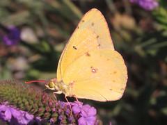 Orange sulphur (Colias eurytheme), male (tigerbeatlefreak) Tags: orange sulphur colias eurytheme insect butterfly lepidoptera pieridae nebraska